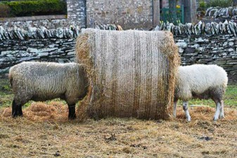 A_two_sheep_in_bale_022D_72.jpg